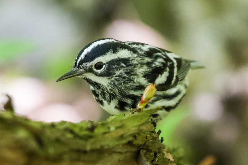 Black & White Warbler @ Magee Marsh - May 2017
