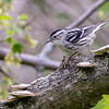 Black-and-White Warbler @ Magee Marsh WA, May 2016