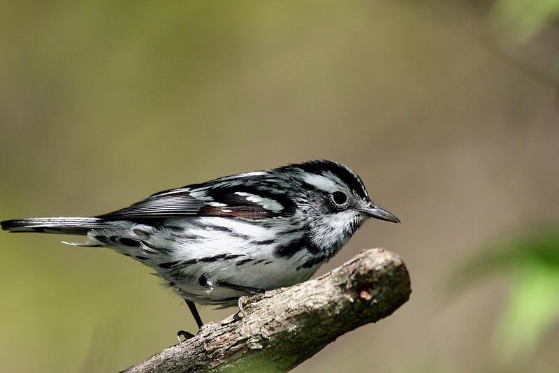 Black & White Warbler @ Magee Marsh - May 2008