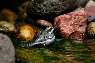 Black-throated Gray Warbler B8101