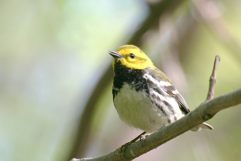 Black-throated Green Warbler @ Magee Marsh - May 2006