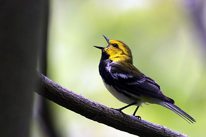 Black-throated Green Warbler @ Smokey Mountains- May 2008