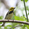 Black-throated Green Warbler @ Magee Marsh - May 2014