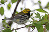Black-throated Green Warbler @ Magee Marsh WA, May 2011