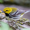 Black-throated  Green Warbler @ Magee Marsh - May 2018