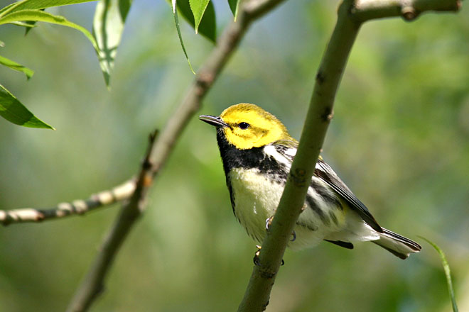 Black-throated Green Warbler - Magee Marsh, May 2005