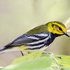 Black-throated Green Warbler @ Magee Marsh - May 2017