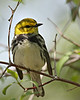 Black-throated Green Warbler @ Magee Marsh - May 2008