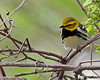 Black-throated Green Warbler @ Magee Marsh - May 2013