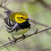 Black-throated Green Warbler @ Magee Marsh WA, May 2016