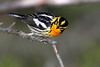 Blackburnian Warbler @ Magee Marsh - May 2008