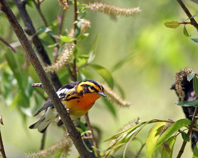 Blackburnian Warbler @ Magee Marsh - May 2012
