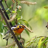 Blackburnian Warbler @ Magee Marsh - May 2012