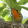 Blackburnian Warbler @ Magee Marsh - May 2014