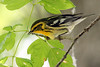 Blackburnian Warbler @ Magee Marsh WA, May 2010