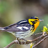 Blackburnian Warbler @ Magee Marsh SP, OH - May 2016