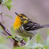 Blackburnian Warbler @ Magee Marsh WA - May 2016