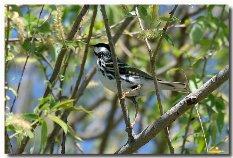 5-12-07 Blackpoll Warbler