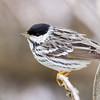Blackpoll Warbler @ Magee Marsh WA, May 2016