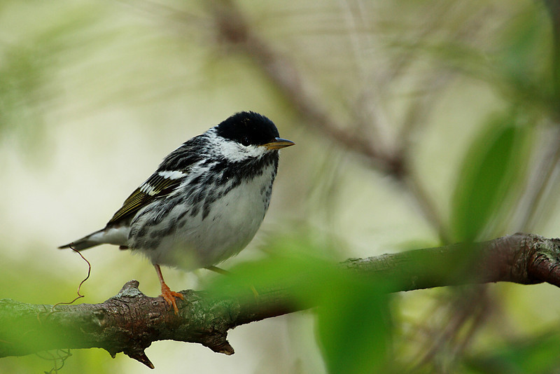 Blackpoll Warbler @ Magee Marsh Wildlife Area - May 2009