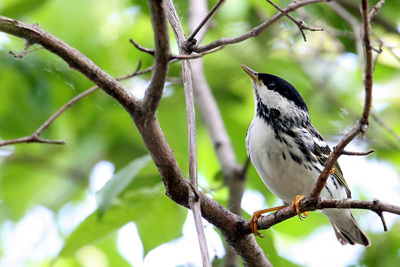 Blackpoll Warbler @ Magee Marsh WA, May 2010