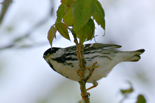 Blackpoll Warbler - Magee Marsh, May 2005