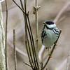 Blackpoll Warbler @ Magee Marsh SP, OH - May 2016
