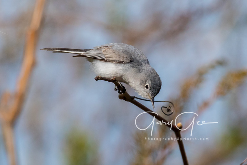 Blue Gray Gnatcatcher Tawas Point 2017