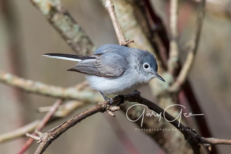 Blue Gray Gnatcatcher Tawas Point 2017