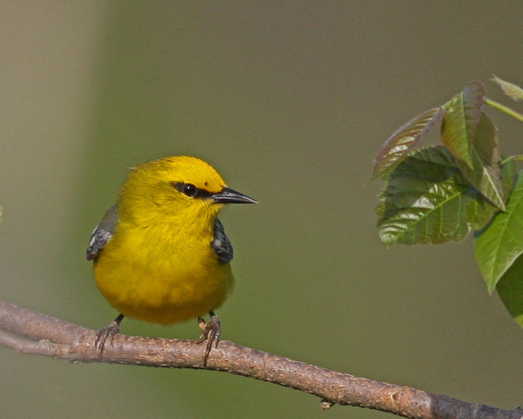 Blue-winged Warbler @ Shawnee State Forest, Ohio - April 2011