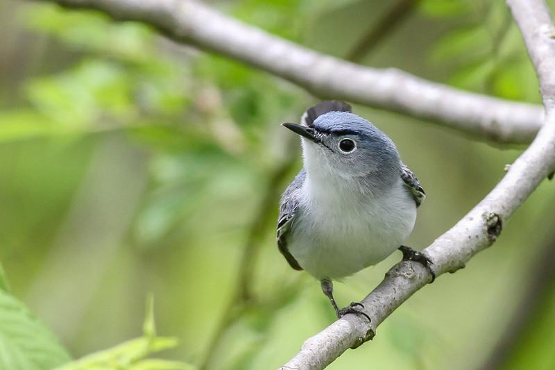 Blue-grey Gnatcatcher @ Hocking Co - May 2015