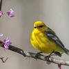 Blue-winged Warbler @ Shawnee State Forest - April 2015