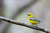 Blue Winged Warbler @ Shawnee State Forest - April 2009