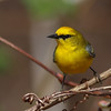 Blue-winged Warbler @ Shawnee State Park - April 2014