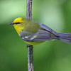 Blue-winged Warbler @ Hocking County - May 2014