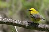 Blue-winged Warbler @ Huddleland (Hocking Hills) OH - May 2010
