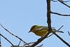 Blue Winged Warbler @ Zaleski State Forest - April 2009