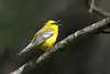 Blue-winged Warbler @ Huddleland (Hocking Hills) OH - May 2010