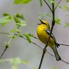 Blue-winged Warbler @ Scioto Co, OH - May 2016
