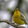 Blue-wing Warbler @ Shawnee State Forest - April 2012