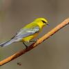 Blue-winged Warbler @ Shawnee State Park - April 2014