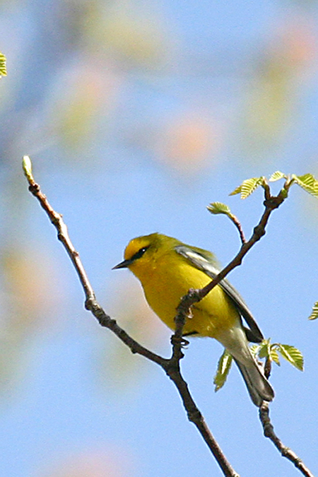 Blue-winged Warbler @ Shawnee State Forest - April 2006