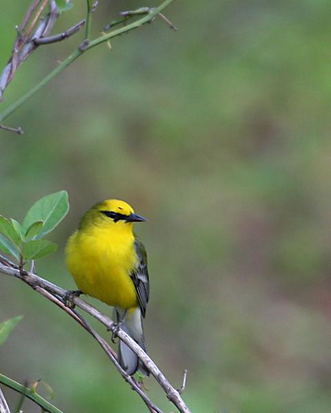 Blue-winged Warbler @ Cooper Hollow WA - April 2010