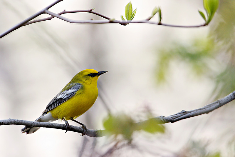 Blue-Winged Warbler @ Shawnee State Forest - April 2009