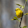Blue-winged Warbler @ Scioto County - April 2018