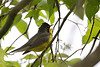 Canada Warbler @ Magee Marsh WA - May 2010
