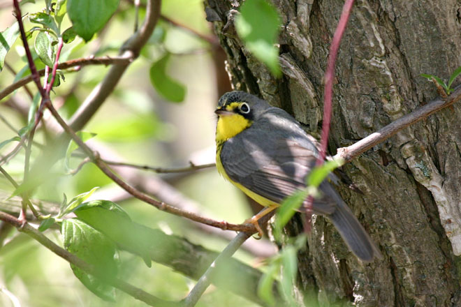 Canada Warbler - Magee Marsh, May 2005