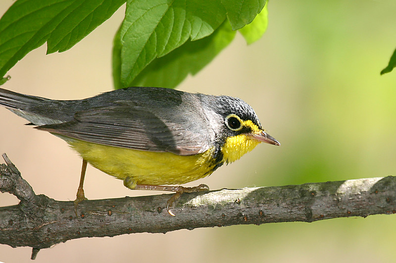 Canada Warbler @ Magee Marsh - May 2007