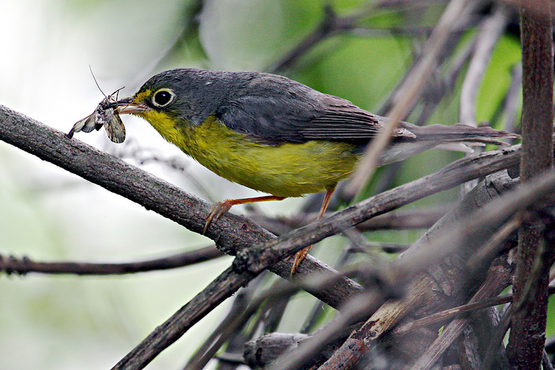 Canada Warbler @ Magee Marsh WA, May 2010
