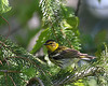 Cape May Warbler @ Highbanks MP - May 2010